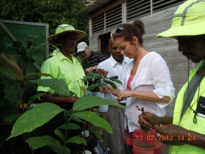 Visitor Grafting Cocao Plant